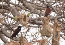 Montezuma Oropendola at Nest 02-25-2016-3195