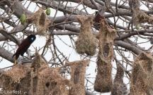 Montezuma Oropendula at Nest 02-25-2016-3190