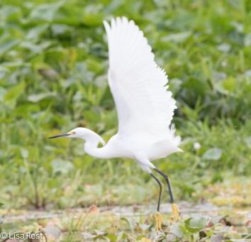 Snowy Egret 02-25-2016-3164