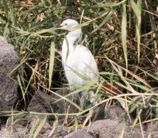 Snowy Egret 2-25-15-2948