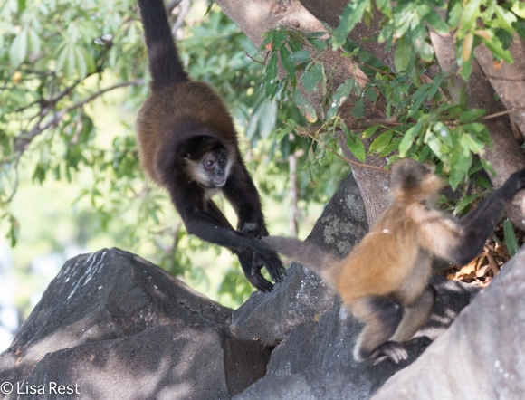 Spider and Capuchin Monkeys 02-25-2016-3104