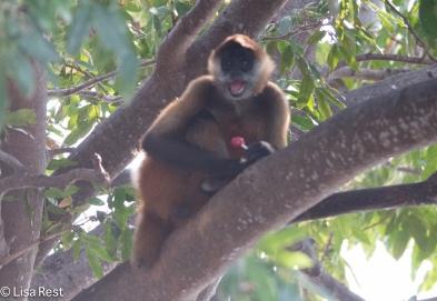 Spider Monkey 02-25-2016-3091