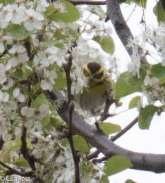 Townsend's Warbler Millennium 4-28-2016-7336
