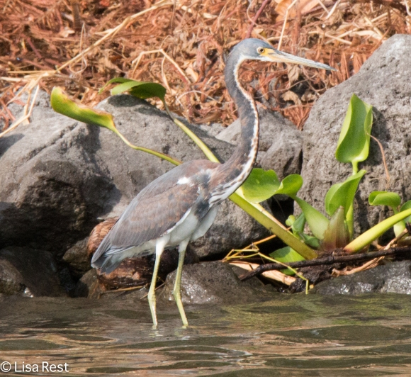 Tri-Colored Heron 02-25-2016-3037