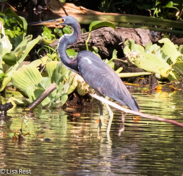 Tricolored Heron 02-25-2016-2830