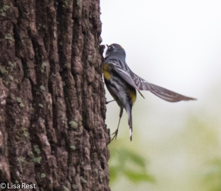Oops - another Yellow-Rumped Warbler imitating a woodpecker
