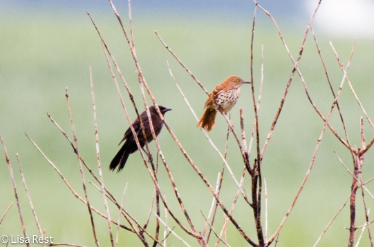 Grackle and Brown Thrasher 6-26-2016-3225
