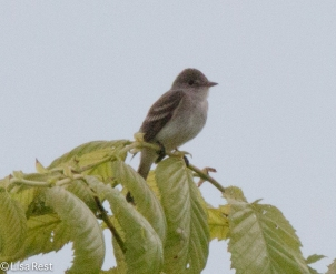 Likely Willow Flycatcher 6-26-2016-3311
