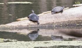 Turtles Portage 6-5-2016-2779