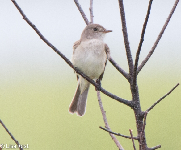 Willow-Alder Flycatcher 6-26-2016-3214