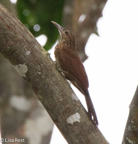 Black-Banded Woodcreeper 07-04-2016-4197
