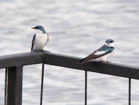 Blue-and-White Swallows sac16c Lisa Spellman-5244