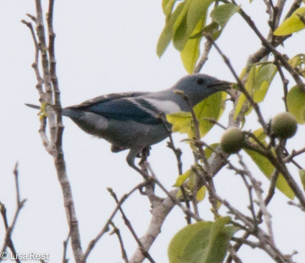 Blue-Gray Tanager 7-5-2016-4820