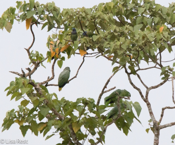 Blue-Headed, Orange-Winged and Mealy Parrots 7-4-2016-4160