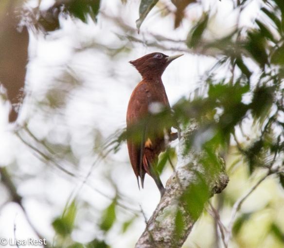 Chestnut Woodpecker 07-07-2016-5720