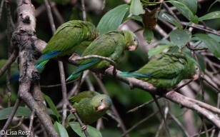 Cobalt-Winged Parakeets 07-04-2016-4322