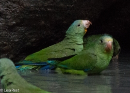 Cobalt-Winged Parakeets 07-04-2016-4379