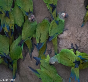 Cobalt-Winged Parakeets 7-4-2016-4108