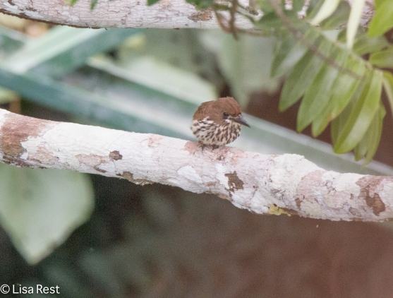 Lanceolated Monklet 07-07-2016-5622