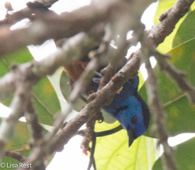 Paradise Tanager 7-05-2016-4503