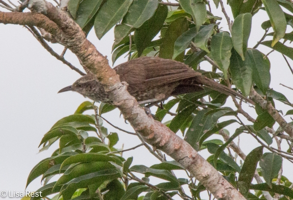 Possible Duida Woodcreeper 07-07-2016-5585