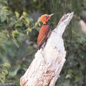 Ringed Woodpecker 07-07-2016-5376