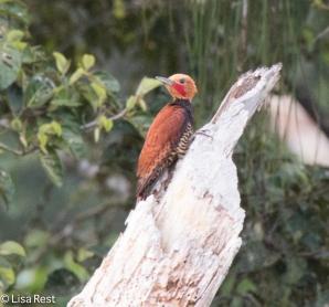 Ringed Woodpecker 07-07-2016-5397
