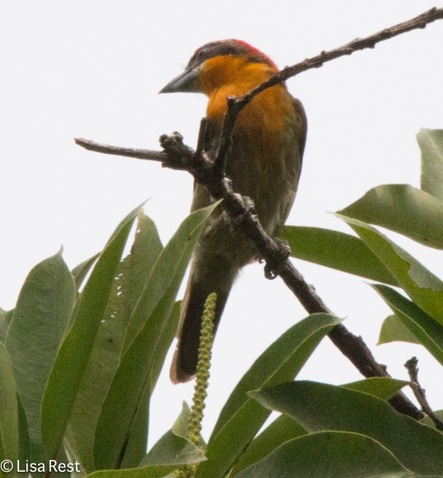 Scarlet-Crowned Barbet 7-4-2016-4238
