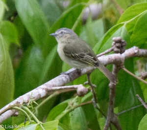 Slender-Footed Tyrannulet 7-5-2016-4653