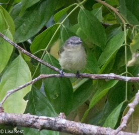 Slender-Footed Tyrannulet 7-5-2016-4661