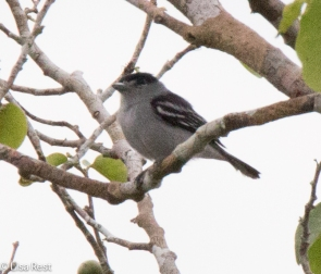 Spot-Winged Antshrike 7-05-2016-4639