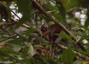Squirrel Monkey 7-05-2016-5030