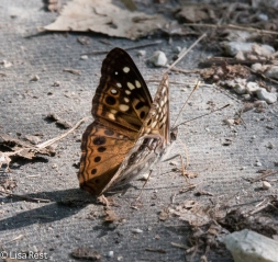 Unidentified Brush-Footed Butterfly 08-07-2016-9598
