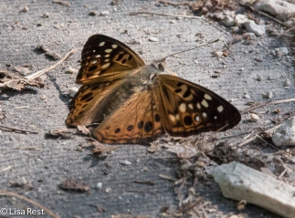 Unidentified Brush-Footed Butterfly 08-07-2016-9601
