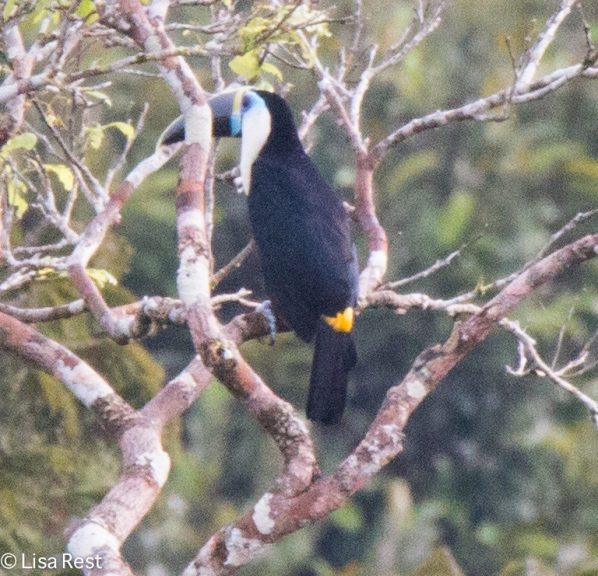 White-Throated Toucan 07-07-2016-5310