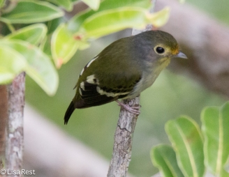 Wing-Barred Piprites