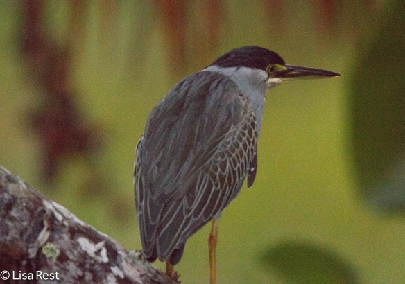 Yellow-Crowned Night Heron 7-3-2016-3940