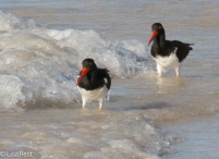 american-oystercatchers-7-10-2016-5390