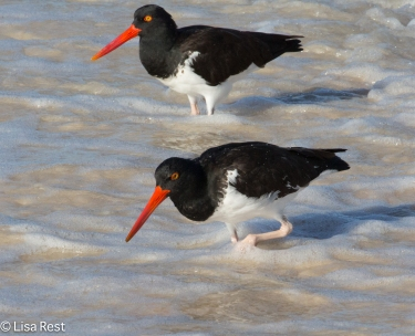 american-oystercatchers-7-10-2016-5413