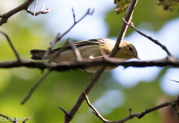 Blackpoll Warbler 09-05-16-0414