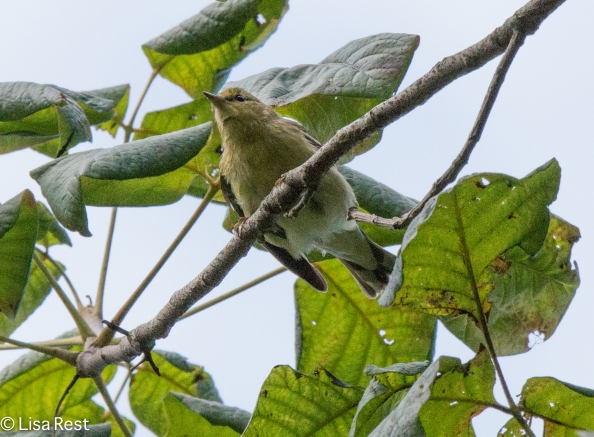 Blackpoll Warbler 09-05-16-0429