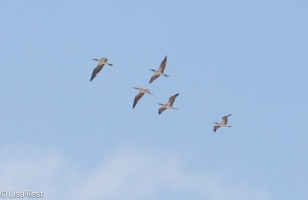 blue-footed-boobies-in-formation-7-10-2016-5075