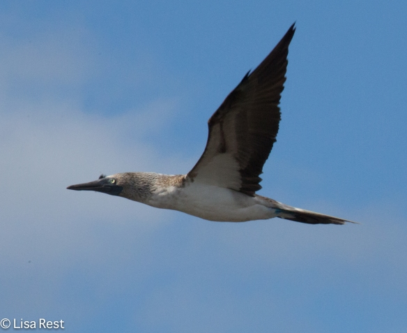 blue-footed-booby-7-10-2016-5194