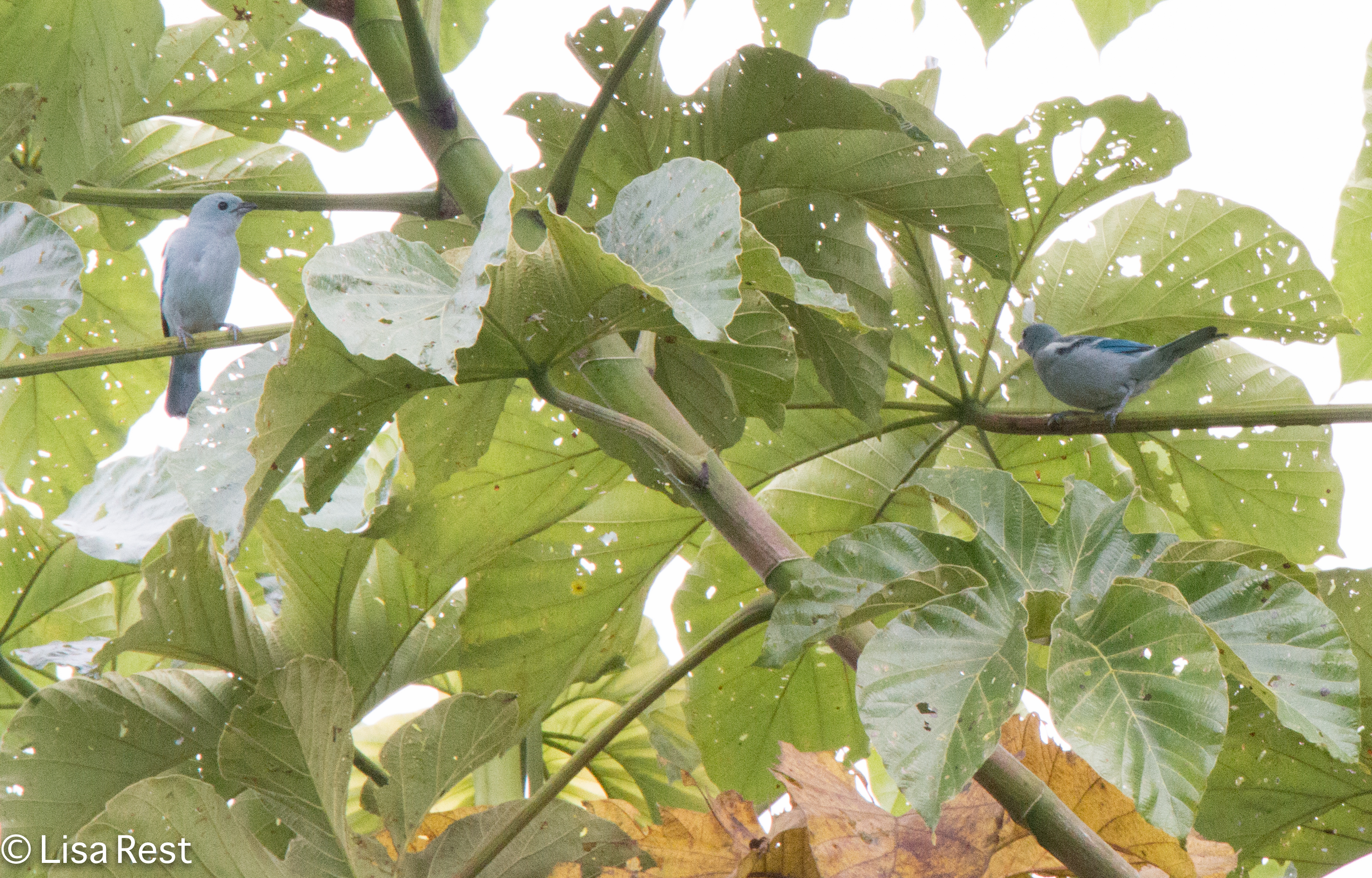 blue-gray-tanagers-07-08-2016-5900