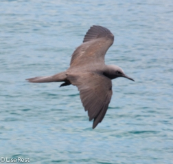 brown-noddy-7-10-2016-5019