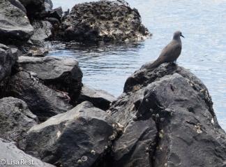 brown-noddy-on-the-rocks-7-10-2016-5042