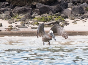 brown-pelican-7-10-2016-6259