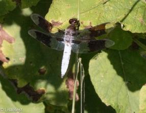 Common Whitetail Skimmer