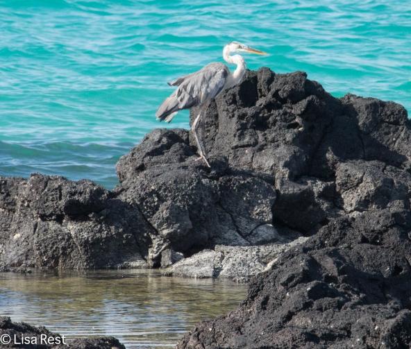 great-blue-heron-7-10-2016-5201
