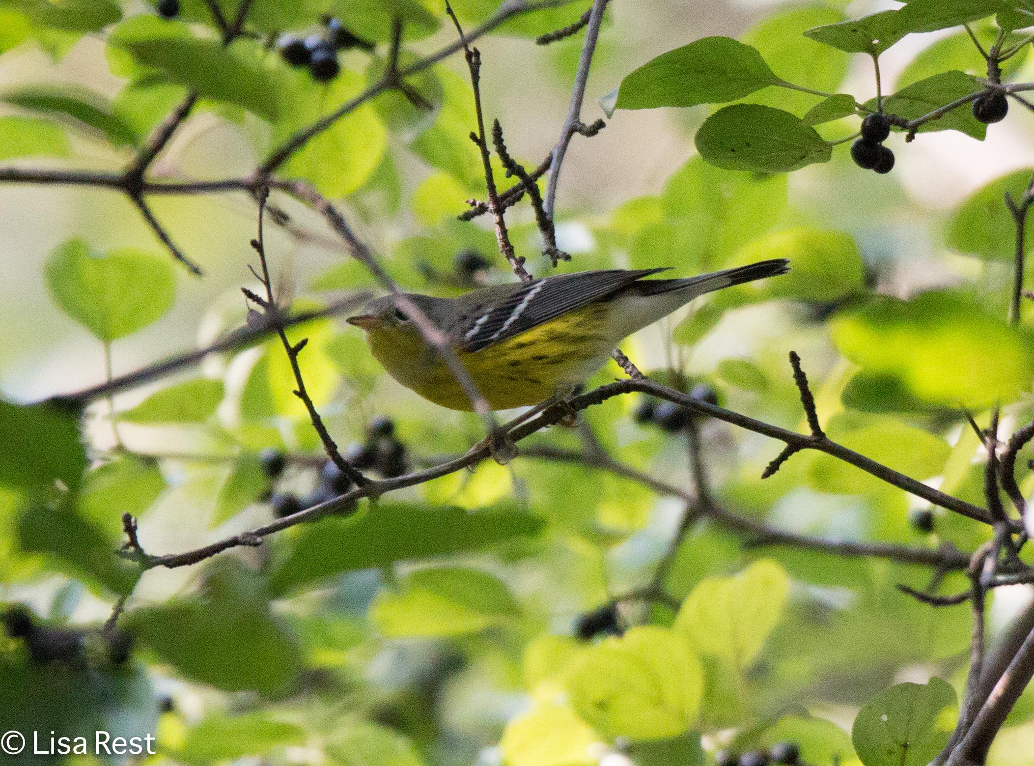 Magnolia Warbler 09-05-16-0438